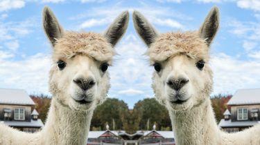 Niet je dag? Dit filmpje van alpaca's die de hitte trotseren maakt alles goed