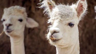 alpaca boerderij open dag