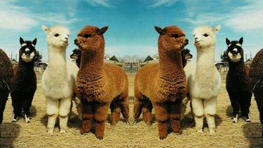 alpaca wandeling alpacaboerderij nederland