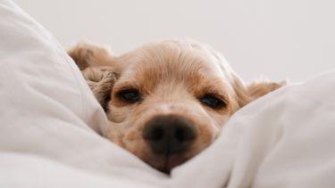 samen slapen met je huisdier / hond in bed