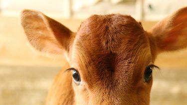 fluffy koe