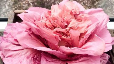 roze sla