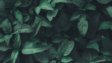 bladeren (natuurlijke deodorant)